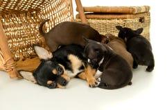 Os cachorrinhos da chihuahua sugam o leite Fotografia de Stock Royalty Free