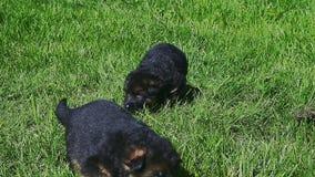 Os cachorrinhos do pastor alemão do close up seis andam na grama verde vídeos de arquivo