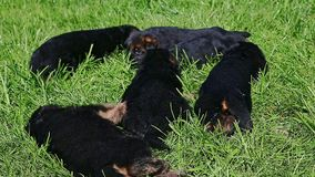 Os cachorrinhos do pastor alemão do close up seis rastejam na grama verde video estoque