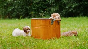 Os cachorrinhos engraçados jogam no gramado perto de uma cubeta de cobre video estoque