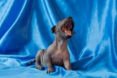 Os cachorrinhos mexicanos do xoloitzcuintle do cão recém-nascido, de uma semana, sentam-se em um fundo azul e em bocejos Apronte  fotografia de stock royalty free