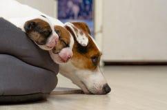 Os cachorrinhos recém-nascidos bonitos do terrier de Russel do jaque, dormem docemente em uma cama fofo Fundo de Blured com cadel Fotos de Stock Royalty Free