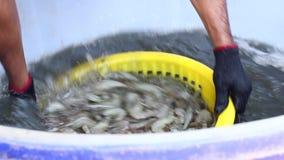 Os camarões da lavagem do trabalhador e tomam-no para fora da cubeta vídeos de arquivo