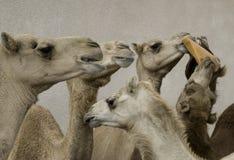 Os camelos compartilham de uma refeição Imagem de Stock