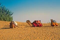 Os camelos descansam após ter alcançado os oásis fotos de stock