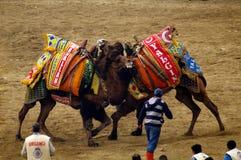 Os camelos estão lutando no festival wretling, Selcuk, Izmir, Turquia imagem de stock royalty free