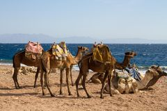 Os camelos estacionaram na praia perto do furo azul, Dahab Fotografia de Stock