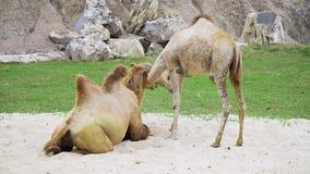 Os camelos jogam junto na areia e têm um resto, animais no jardim zoológico, camelos no parque tropical, navios do deserto vídeos de arquivo