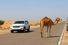 Os camelos podem ser um perigo em Médio Oriente Foto de Stock