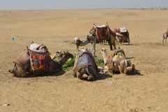 Os camelos sentam-se junto no platô de Giza Fotos de Stock