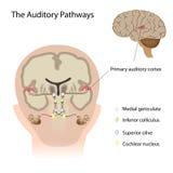 Os caminhos auditivos Fotografia de Stock