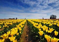 Os campos da tulipa de Oregon Foto de Stock Royalty Free
