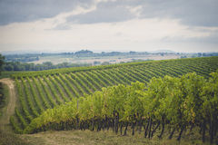 Os campos da uva em Toscânia Foto de Stock Royalty Free