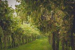 Os campos da uva em Toscânia, Itália Foto de Stock