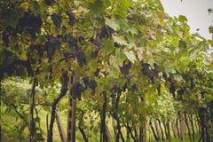 Os campos da uva em Toscânia, Itália Fotografia de Stock Royalty Free