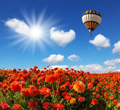 Os campos de botões de ouro vermelhos do jardim Imagens de Stock Royalty Free