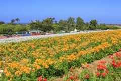 Os campos de flor foto de stock royalty free