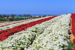 Os campos de flor fotos de stock