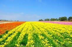 Os campos de flor de Carlsbad Fotos de Stock Royalty Free