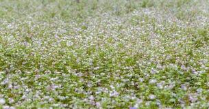 Os campos de flor do trigo mourisco vislumbram no vento do outono Fotos de Stock