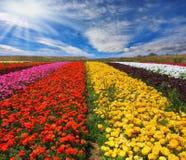 Os campos de flor multi-coloridos Fotos de Stock Royalty Free