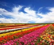 Os campos de flor multi-coloridos bonitos. Foto de Stock Royalty Free