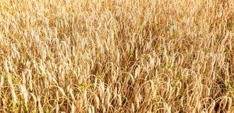 Os campos de trigo Foto de Stock Royalty Free