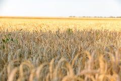 Os campos de trigo Fotos de Stock
