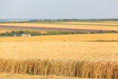 Os campos de trigo Imagem de Stock Royalty Free