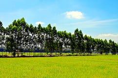 Os campos do arroz Imagens de Stock Royalty Free