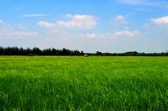 Os campos do arroz Imagens de Stock