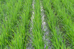 Os campos do arroz do verde Foto de Stock