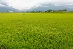 Os campos do arroz em Taiwan foto de stock