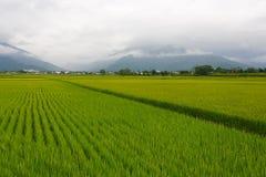 Os campos do arroz em Taiwan fotos de stock royalty free