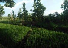 Os campos do arroz fotografia de stock royalty free