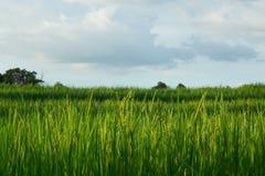 Os campos do arroz do verde Imagem de Stock