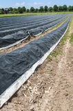 Os campos do aspargo podem dentro Foto de Stock Royalty Free