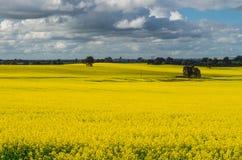 Os campos do canola dourado colhem ao norte de Benalla, Victoria Fotografia de Stock
