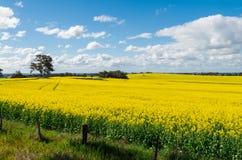 Os campos do canola dourado colhem ao norte de Benalla, Victoria Imagens de Stock