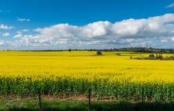 Os campos do canola dourado colhem ao norte de Benalla, Victoria Fotos de Stock Royalty Free