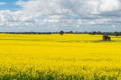 Os campos do canola dourado colhem ao norte de Benalla, Victoria Imagem de Stock Royalty Free