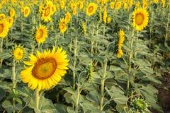 Os campos do girassol estão florescendo no verão fotos de stock