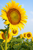 Os campos do girassol estão florescendo no verão fotos de stock royalty free