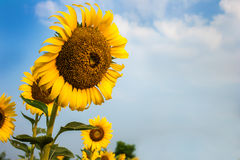Os campos do girassol estão florescendo no verão imagens de stock royalty free