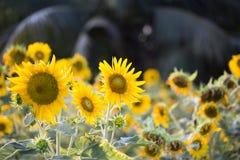 Os campos dos girassóis são agora uma terra comum fotografia de stock