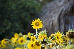 Os campos dos girassóis são agora uma terra comum fotos de stock royalty free