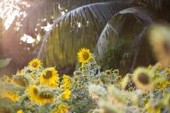 Os campos dos girassóis são agora uma terra comum fotografia de stock royalty free