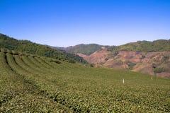 Os campos e Mountain View do chá no Choui Fong colocam, Chiang Rai, Tailândia Fotografia de Stock