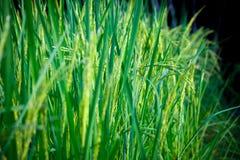 Os campos são luxúrias Foto de Stock