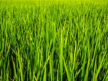 Os campos verdes do arroz dão-lhe um sentimento relaxado e calmo imagens de stock royalty free